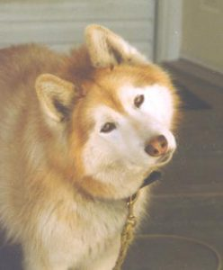 Comment Policy - Red Siberian Husky