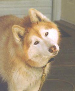 Mahfooz Kanwar - Red Siberian Husky